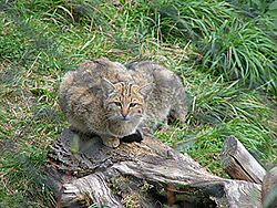 Chat sauvage (Felis silvestris)